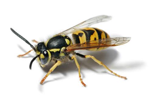 Wasp-or-hornet.jpg